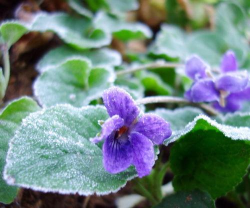 Frozen violet