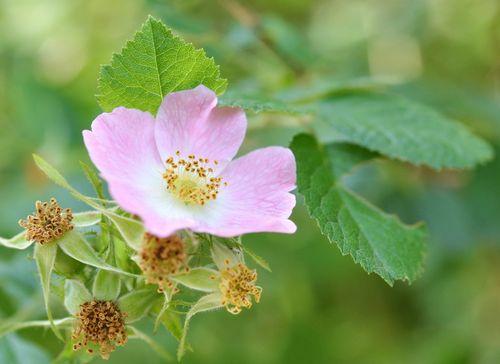 Heartbreaker, summer rose