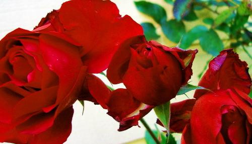 Nov_roses