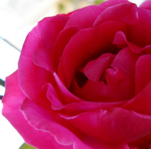 Rose_in_november_2