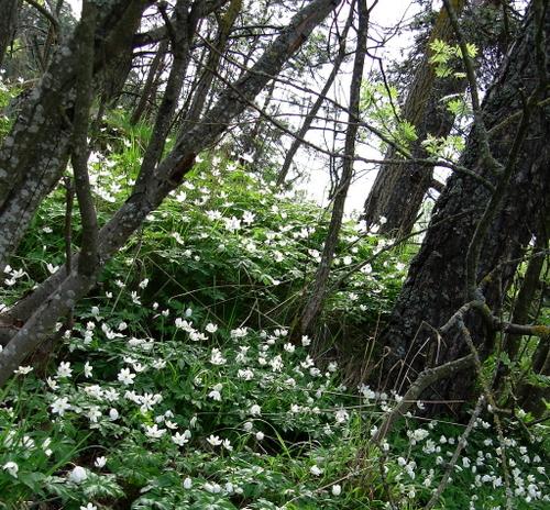 Hvitveis_in_woods